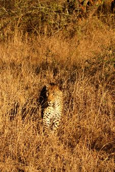 Free Leopard In The Sabi Sands Stock Photos - 5641373
