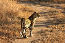 Free Leopard In The Sabi Sands Stock Image - 5641601