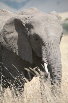 Free Elephant Eating Grass Royalty Free Stock Photography - 5641797