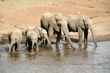 Elephant Family Drinking Stock Images