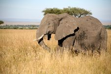 Free Elephant Walks Through The Grass Stock Photography - 5641912