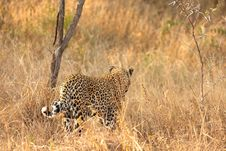 Free Leopard In The Sabi Sands Royalty Free Stock Photography - 5641937