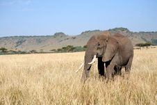 Free Elephant Walks Through The Grass Stock Photography - 5642142