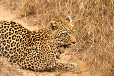 Free Leopard In The Sabi Sands Royalty Free Stock Image - 5642256
