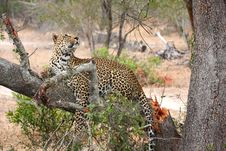 Free Leopard In A Tree Royalty Free Stock Images - 5642259