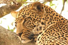 Free Leopard In A Tree Royalty Free Stock Photography - 5642297