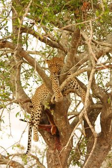 Free Leopard In A Tree With Kill Royalty Free Stock Images - 5642299