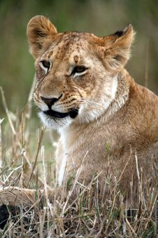Lion Cub Lying In The Grass Royalty Free Stock Photos