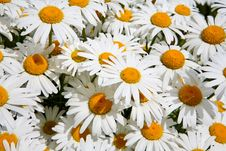 Free Daisy Background Royalty Free Stock Images - 5642619