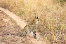 Free Leopard In The Sabi Sands Royalty Free Stock Image - 5642636