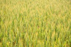 Free Wheat Field Background Royalty Free Stock Image - 5642666