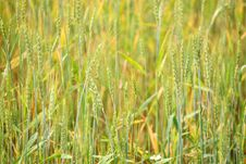Free Wheat Field Background Royalty Free Stock Photos - 5642668