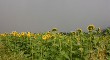 Free Sunflowers Stock Image - 5642721