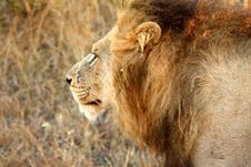 Free Lion In Sabi Sands Stock Image - 5642771