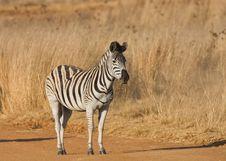 Free Zebra In The Road Stock Photos - 5642813