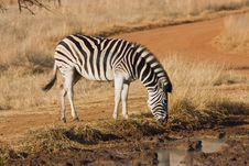 Free Zebra At Waterhole Stock Photos - 5642823