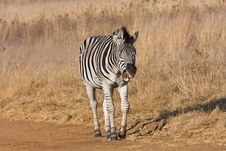 Free Zebra Yawning In The Road Royalty Free Stock Photography - 5642847