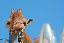 Free Loneliness Giraffe Royalty Free Stock Image - 5642926