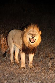 Free Lion In Sabi Sands Royalty Free Stock Image - 5642946