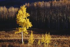 Aspen Tree In The Morning Royalty Free Stock Photos