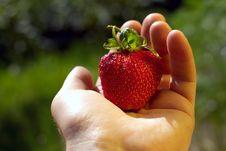 Free Red Strawberry Stock Photos - 5643063