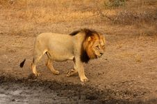 Free Lion In Sabi Sands Royalty Free Stock Images - 5643069