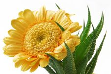 Free Gerber Daisy Into Clutches Of Cactus Stock Photos - 5643193
