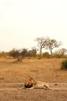 Free Lion In Sabi Sands Stock Photo - 5643260