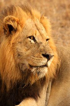 Free Lion In Sabi Sands Stock Photos - 5643303