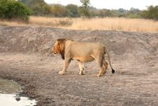 Free Lion In Sabi Sands Stock Images - 5643374
