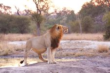 Free Lion In Sabi Sands Royalty Free Stock Image - 5643476