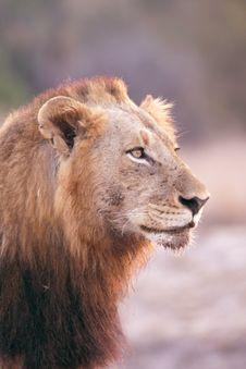 Free Lion In Sabi Sands Royalty Free Stock Photos - 5643488