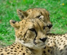Free Cheetah Over The Grass Background Stock Photos - 5643513