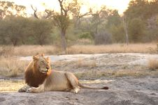 Free Lion In Sabi Sands Royalty Free Stock Photos - 5643518