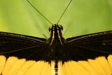Free Tropical Butterfly With Antennae Stock Photography - 5643662