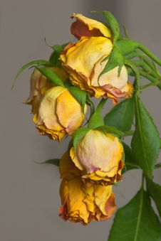 Free Dead Roses Royalty Free Stock Photography - 5644017