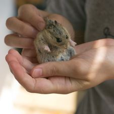 Free Campbell S Dwarf Hamster In Hands Stock Photo - 5644020