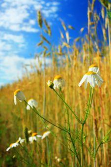 Free Daisy Royalty Free Stock Image - 5644956