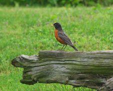 Free Robin Stock Photography - 5645092