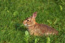 Free Wild Rabbit Royalty Free Stock Image - 5645216