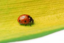 Free Ladybug Walking On A Leaf Stock Image - 5645401
