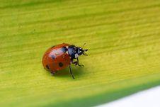 Free Ladybug Walking On A Leaf Stock Image - 5645461