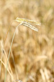 Free Golden Wheat Field Stock Photo - 5646530