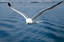 Free Seagull Royalty Free Stock Image - 5646956