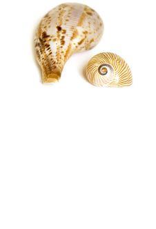 Seashell On White Stock Photo