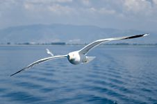 Free Seagull Royalty Free Stock Photo - 5647135