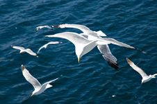 Free Seagull Royalty Free Stock Photography - 5647607