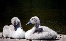 Two Baby Swans Stock Photos