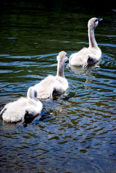 Free Three Signets Swimming Stock Image - 5648231
