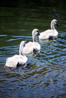 Free Three Signets Swimming Stock Photos - 5648263
